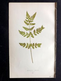 Lowe 1869 Antique Fern Print. Cystopteris Fragilis 66
